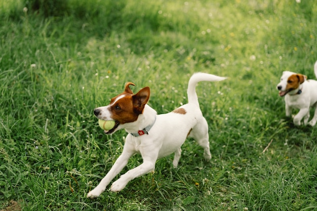 Jack russell terrier cani in prato. jack russell terrier cani in natura.