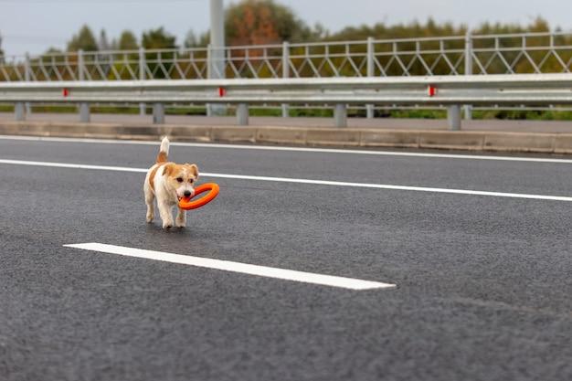 Il cucciolo di jack russell terrier porta un anello arancione dall'altra parte della strada