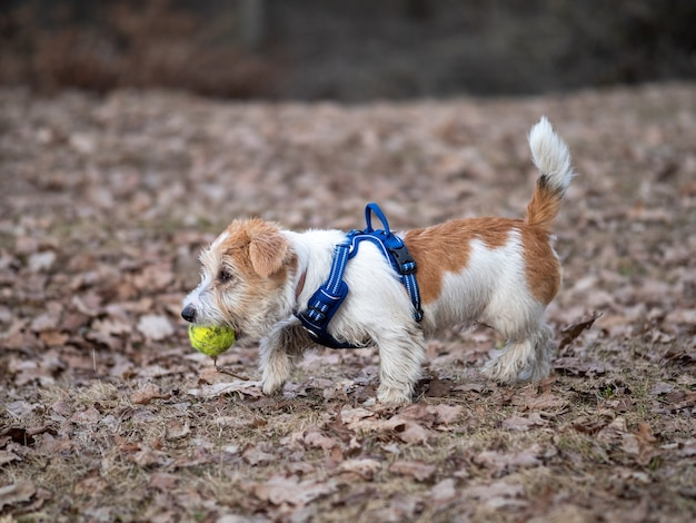 Cucciolo di jack russell terrier porta una pallina da tennis nella foresta