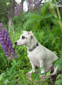 Cucciolo di jack russell terrier nell'erba