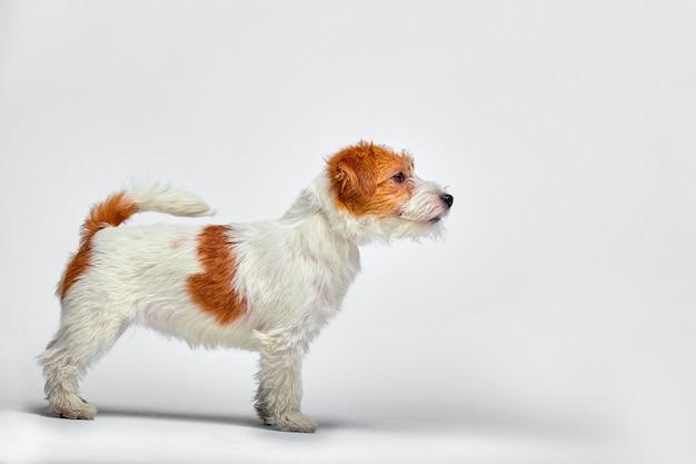Cucciolo di jack russell terrier isolato