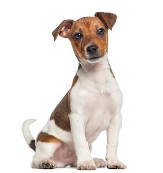 Jack russell terrier cucciolo seduto