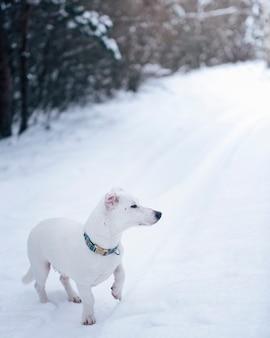 Jack russell terrier nella foresta innevata di inverno. ritratto di cane nella neve durante la passeggiata mattutina nella foresta