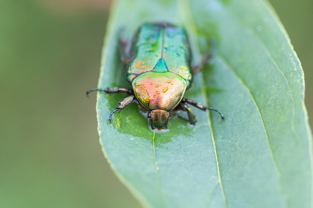 Giacca di rose o verde di rose (cetonia aurata) su una foglia verde di close-up