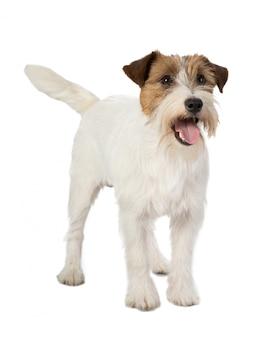 Cane di jackrussel su bianco