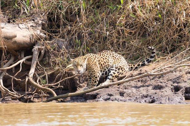 Jaguar sulla sponda del fiume dal pantanal, brasile. felino brasiliano selvaggio. natura e fauna selvatica