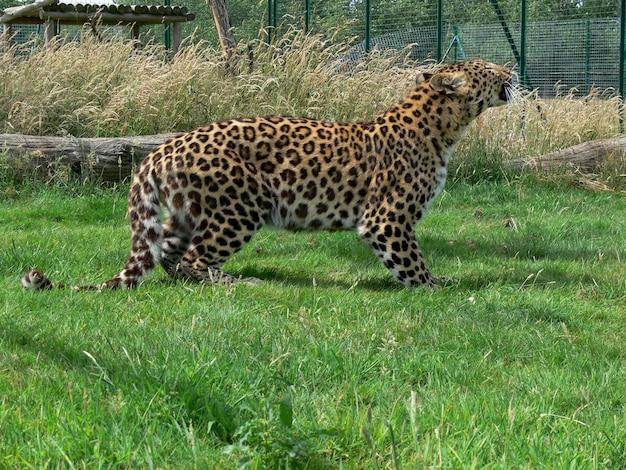 Giaguaro in un ambiente zoo