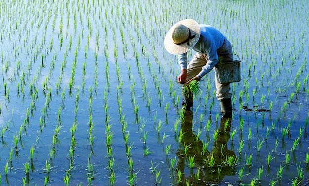 Agricoltore giapponese che tende a una risaia.