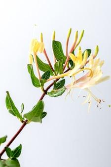 Caprifoglio giapponese ramo isolato sul muro bianco. foto di alta qualità Foto Premium