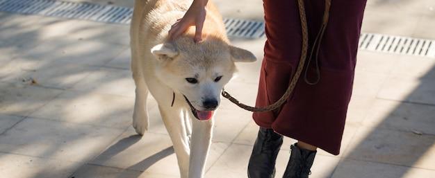 Cane da caccia giapponese di razza kisyu, bellissimo ritratto di un cane bianco da vicino