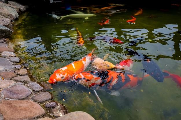 Le carpe koi giapponesi sporgono la testa fuori dall'acqua per afferrare il cibo nello stagno, che viene loro lanciato dalle persone