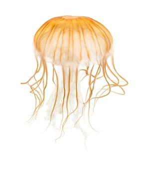 Ortica di mare giapponese, chrysaora pacifica, meduse contro uno sfondo bianco