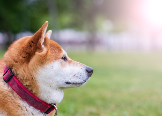 Cane giapponese di shiba inu felice nel primo piano del parco