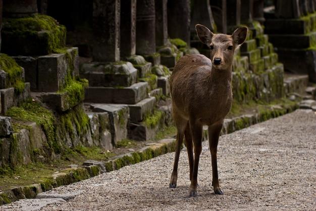 Cervo sika giapponese in piedi su un sentiero del tempio a nara, giappone