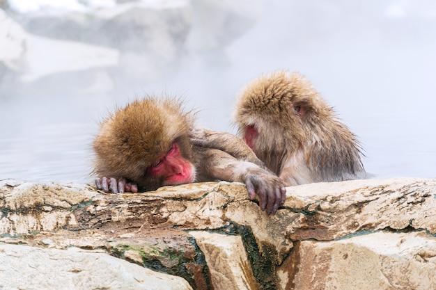 La scimmia giapponese delle nevi si rilassa nella primavera calda in inverno al parco delle scimmie della neve