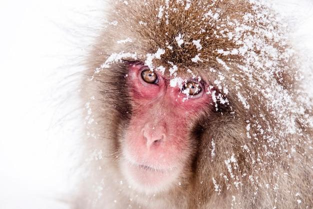 Le scimmie delle nevi giapponesi sono sedute nei bagni termali caldi. la mamma sta abbracciando il suo bambino, un cappello da neve è sulla testa della madre. sta nevicando
