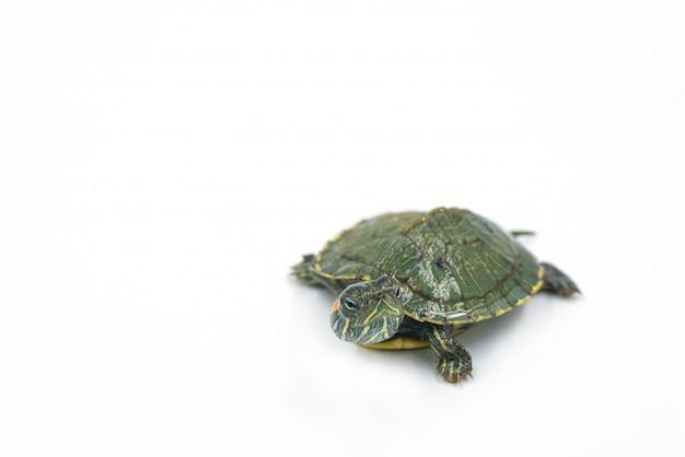 Tartaruga giapponese su sfondo bianco, cursore dalle orecchie rosse