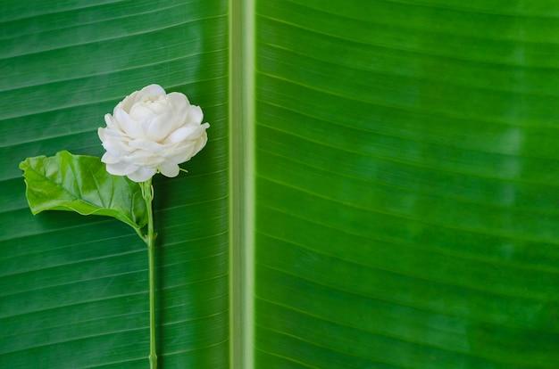 Fiore del gelsomino sul fondo della foglia della banana con copyspace
