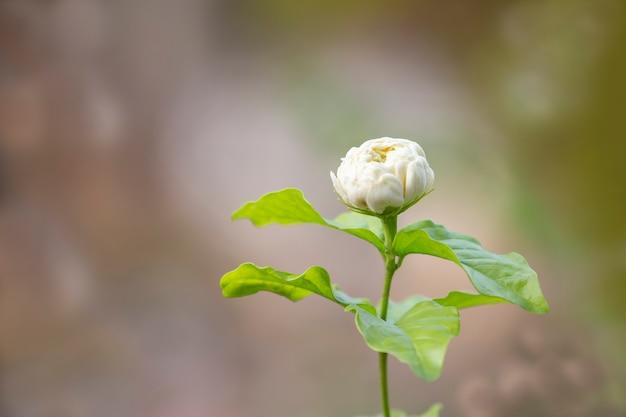 Fiore di gelsomino in giardino con sfondo sfocato.