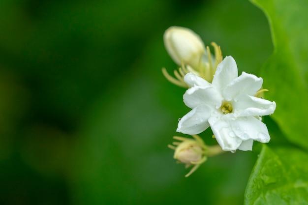 Il fiore del gelsomino è un simbolo per la festa della mamma in thailandia.