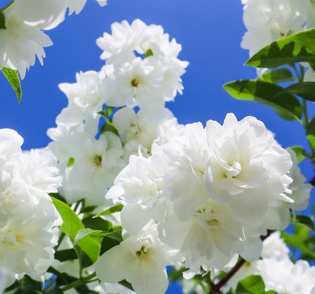 Fiori di gelsomino nel giardino di rami con fiori bianchi contro il cielo blu