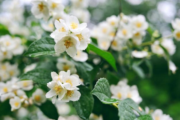 Fiori bianchi del gelsomino su un albero con le gocce di rugiada