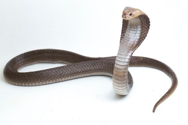 Il cobra sputatore di giava (naja sputatrix) chiamato anche cobra meridionale indonesiano isolato su bianco