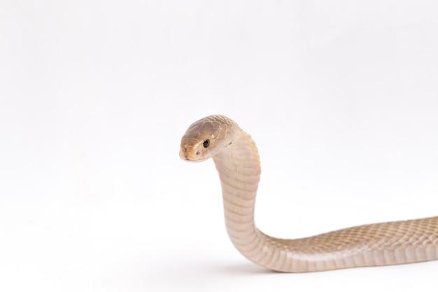 Il cobra sputatore di giava su uno spazio bianco