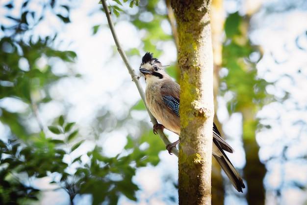 Jay bird nella riserva al mattino presto