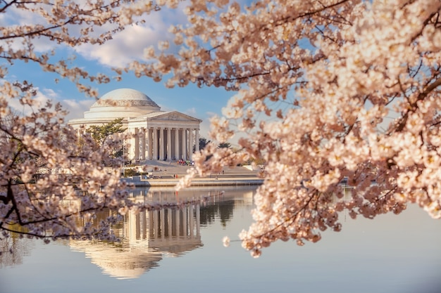 Il jefferson memorial durante il cherry blossom festival. washington, dc negli usa