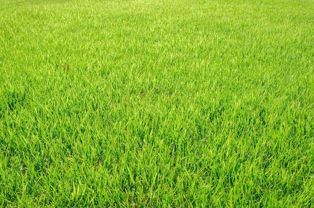Erba verde succosa come un primo piano della priorità bassa