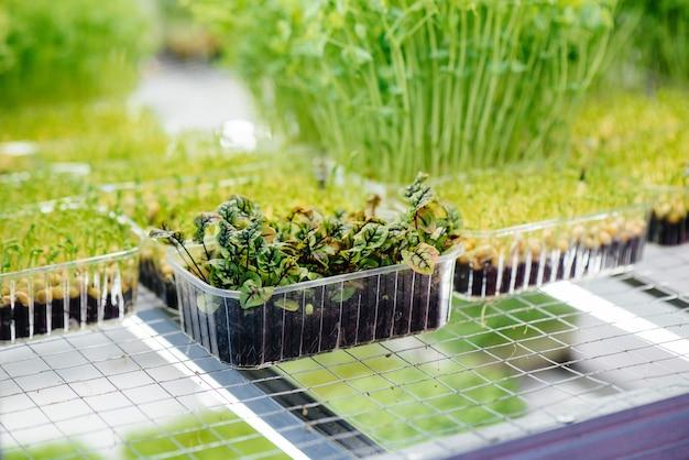 Succosi e giovani germogli di micro verdure in serra. semi in crescita. mangiare sano.
