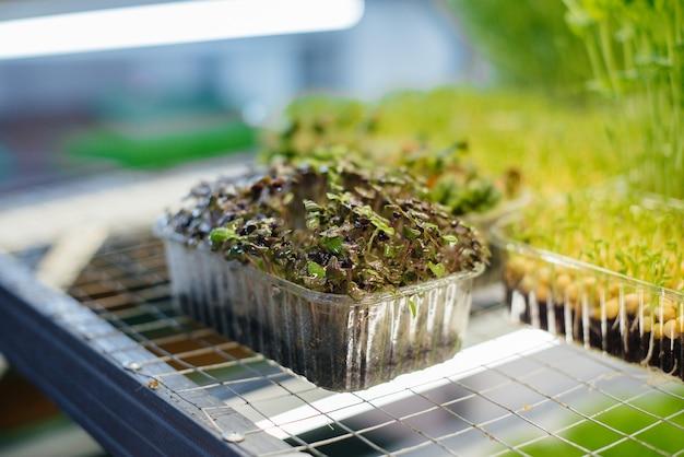 Germogli succosi e giovani di micro verdure nella serra. semi in crescita. mangiare sano.