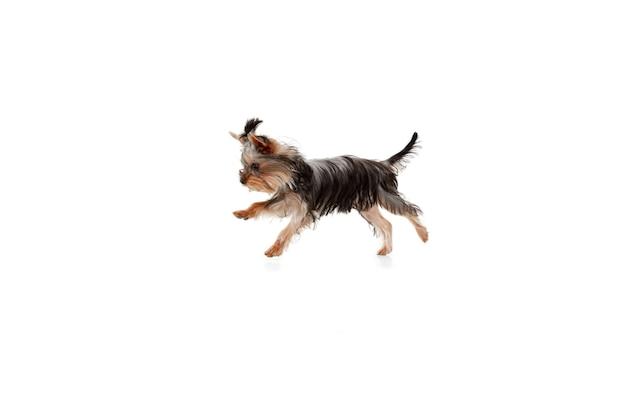 Salto. il piccolo cane dell'yorkshire terrier sta giocando. simpatico cagnolino giocoso o animale domestico isolato su sfondo bianco per studio. concetto di movimento, movimento, amore per gli animali domestici. sembra felice, felice, divertente. copyspace per annuncio