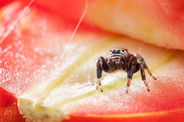 Ragno che salta su una fetta di pomodoro rossa incandescente