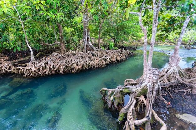 Fiume nella giungla nella foresta di mangrovie di thapom