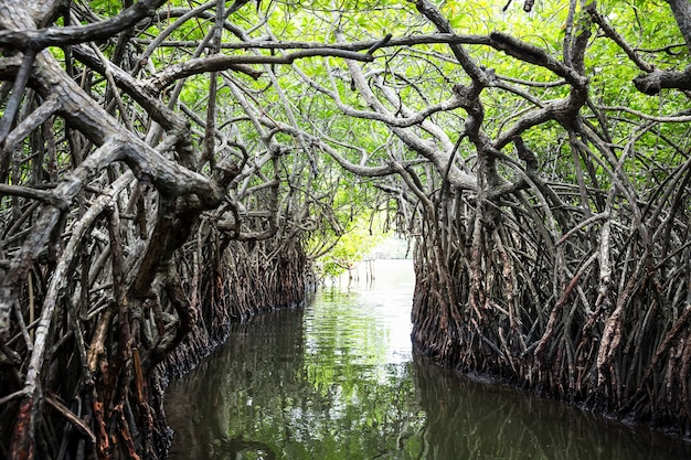 Fiume della giungla e mangrovie tropicali su ceylon. paesaggio dello sri lanka