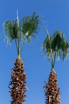 Sfondo di tronco di palma verde appena tagliato con rami tagliati