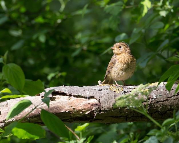 Robin giovanile seduto su un ramo in pieno sole