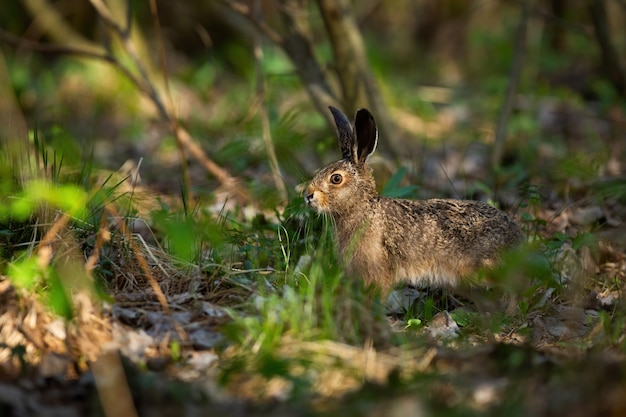 Juvenille brown lepre in piedi nella foresta durante la soleggiata giornata di primavera