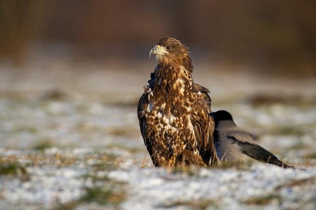 Juvenille white-tailed eagle, haliaeetus albicilla, seduto su erba bianca in inverno.