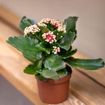 Fine della pianta del fiore di kalanchoe su