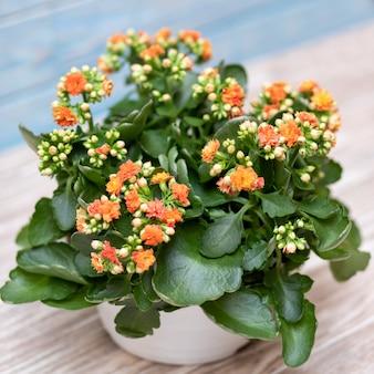 Fiore di kalanchoe in un vaso da vicino