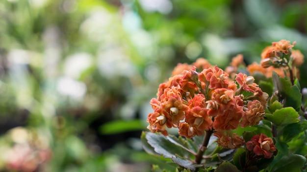 Kalanchoe kalanchoe blossfeldiana è una pianta d'appartamento popolare tipicamente