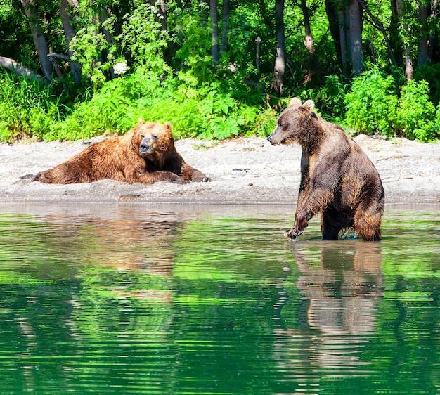 Orso di kamchatka braun sul grande lago