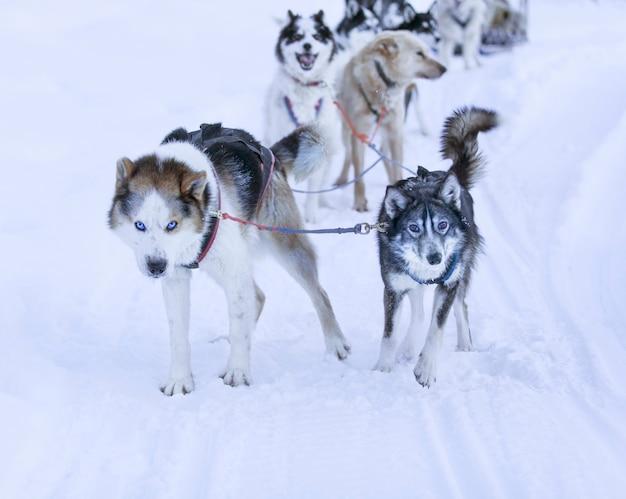 Slitta trainata da husky della kamchatka in