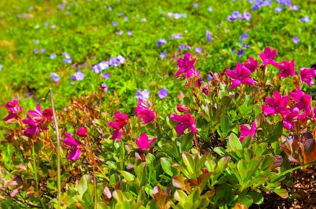 Il kamchatka rhododendron rhododendron camtschaticum sul vulcano vachkazhets