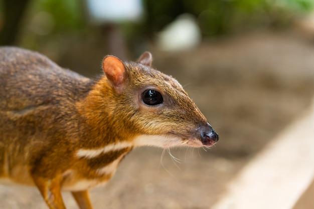 Kanchil è un fantastico cucciolo di cervo dei tropici. il topo cervo è uno degli animali più insoliti. topo con gli zoccoli.