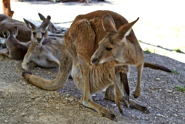 Canguro seduto per terra nei giardini zoologici del nord di israele
