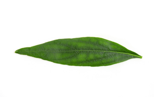 Kariyat o andrographis paniculata, foglie verdi ramo isolato su superficie bianca con tracciato di ritaglio.